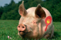 Pig with a rosette